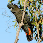 Photo credit_South-eastern Red-tailed Black-Cockatoo by Michael Waters